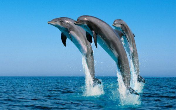 tri delfina-v-pryzhke